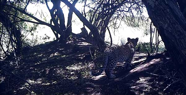 Leopards alive and well on Kudu!